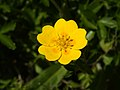 Potentilla aurea (flower).jpg