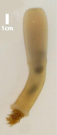 Priapulus caudatus FZ.png