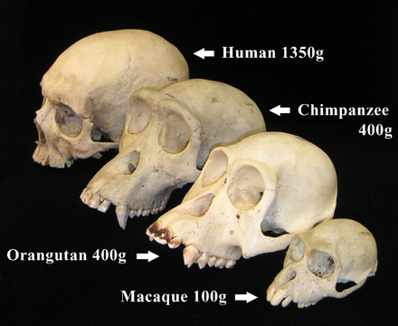 Primate skulls showing postorbital bar, and increasing brain sizes Primate skull series with legend cropped.png