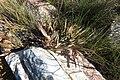Protea tenax mr fab iNat10951519b.jpg