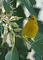 Prothonotary Warbler (15477642670).jpg