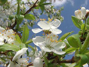 English: Cherry blossoms Polish: Kwiaty wiśni.