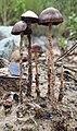 Psathyrella corrugis (Pers.) Konrad & Maubl 704057.jpg