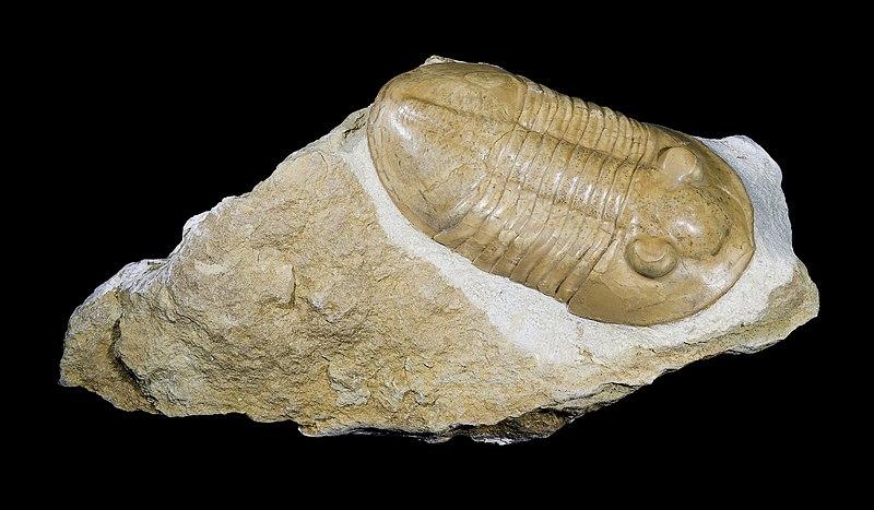 Fossil av en trilobit, Pseudoasaphus praecurrens.