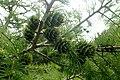 Pseudolarix amabilis kz7.jpg