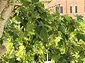 Psittacula krameri (18648815862).jpg