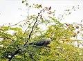 Psittacula krameri -Zoetermeer, Netherlands -female-8 (1).jpg