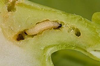 Psylliodes chrysocephala larva (31827334431).jpg