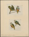 Ptilinopus spec. - 1700-1880 - Print - Iconographia Zoologica - Special Collections University of Amsterdam - UBA01 IZ15600041.tif