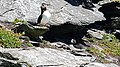 Puffins at Skellig Michael 10.jpg