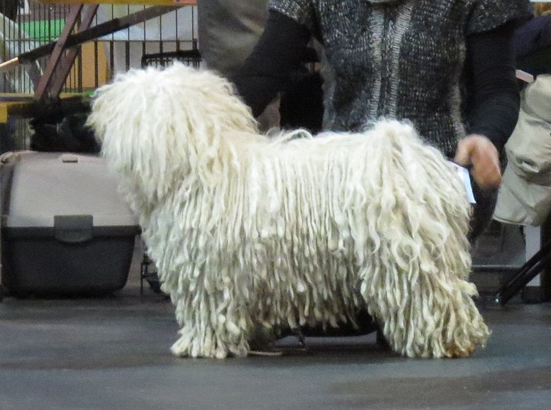 File:Puli in Riga 1.JPG