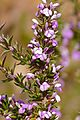 Purple Gorse (Muraltia heisteria) (32018684703).jpg