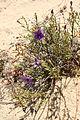 Purpleflwrwheatbelt.jpg