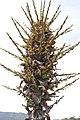 Puya chilensis Zapallar 11.jpg