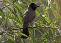 Pycnonotus xanthopygos - Arap bülbülü.jpg