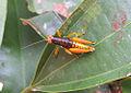 Pyrgomorphidae (12911657804).jpg