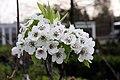 Pyrus pyrifolia Twentieth Century 2zz.jpg