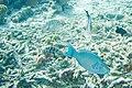 Queen parrotfish Scarus vetula (2413463881).jpg