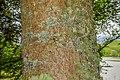 Quercus crassifolia in Hackfalls Arboretum (2).jpg