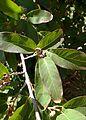 Quercus polymorpha kz3.jpg