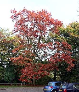 Quercus rubra - Autumn northern red oak specimen