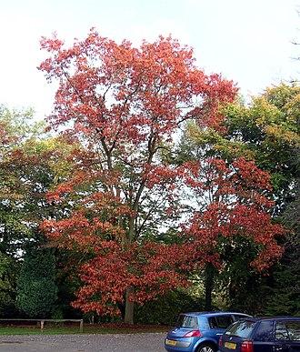 Quercus rubra - Autumn northern red oak specimen