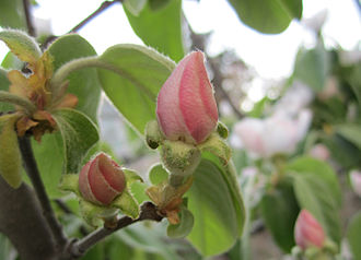 Pink - A delicate shade of pink from the flower bud of the quince plant.