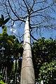 Quipo Tree @ Foster Botanical Gardens (4720014518).jpg