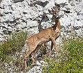 Rådjur (Capreolus capreolus) – Roe deer - Flickr - Ragnhild & Neil Crawford.jpg