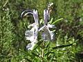 Rósmarín (Rosmarinus officinalis) 001.jpg