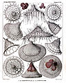 Radiolaria (Challenger) Plate 059.jpg