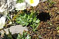 Ranunculus alpestris (29740407107).jpg