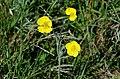 Ranunculus illyricus (7263673888).jpg