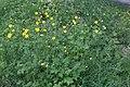 Ranunculus repens-Renoncule rampante (Bouton d'or)-20160516.jpg