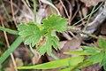 Ranunculus repens in Aveyron (13).jpg