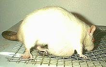 Mammary tumor - Wikipedia