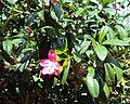 Ravenia spectabilis 02.JPG