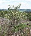 Red-berried Elder (Sambucus racemosa) - geograph.org.uk - 415186.jpg