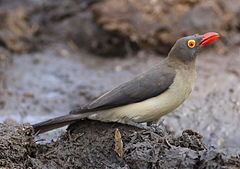 Red-billed Oxpecker, Buphagus erythrorhynchus, at Kruger National Park, South Africa (20716284658).jpg