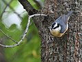 Red-breasted Nuthatch (31333058538).jpg