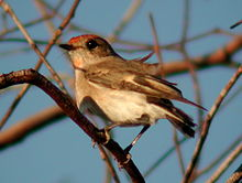 A small bird with pale brown plumage and reddish tint to chest and cap is perched on a twig against a background of small bare branchlets in a tree.