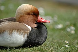 Red-crested Pochard 01.jpg