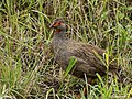 Red-necked Spurfowl 1.jpg