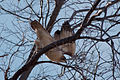 Red-tail hawk 3414.jpg