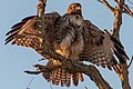 Red-tailed Hawk (31910603631).jpg