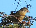 Red Crossbill (8203827539).jpg