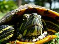 Red Eared Slider at McNay.jpg