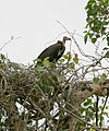 Red Headed Vulture at Nest.jpg