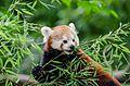 Red Panda (19899095494).jpg