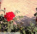 Red Rose By Arshi.jpg